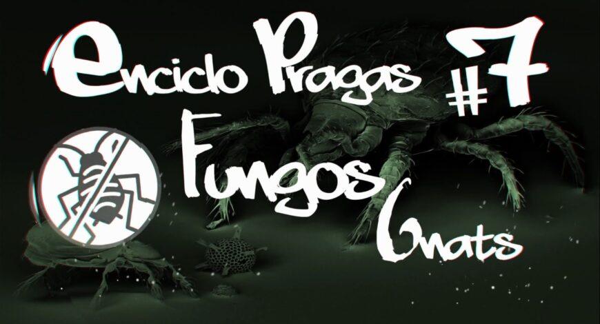 fungos gnats como combater